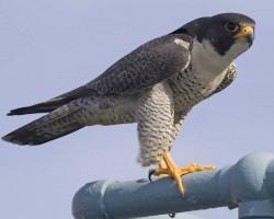 Falco-pe画像