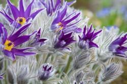 flowering Pulsatilla halleri