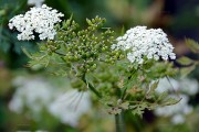 Aethusa cynapium subsp. elata - Hohe Hundspetersilie (Apiaceae)